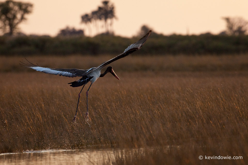 Saddle-billed Stork, taking off, Okavango Delta. (2)
