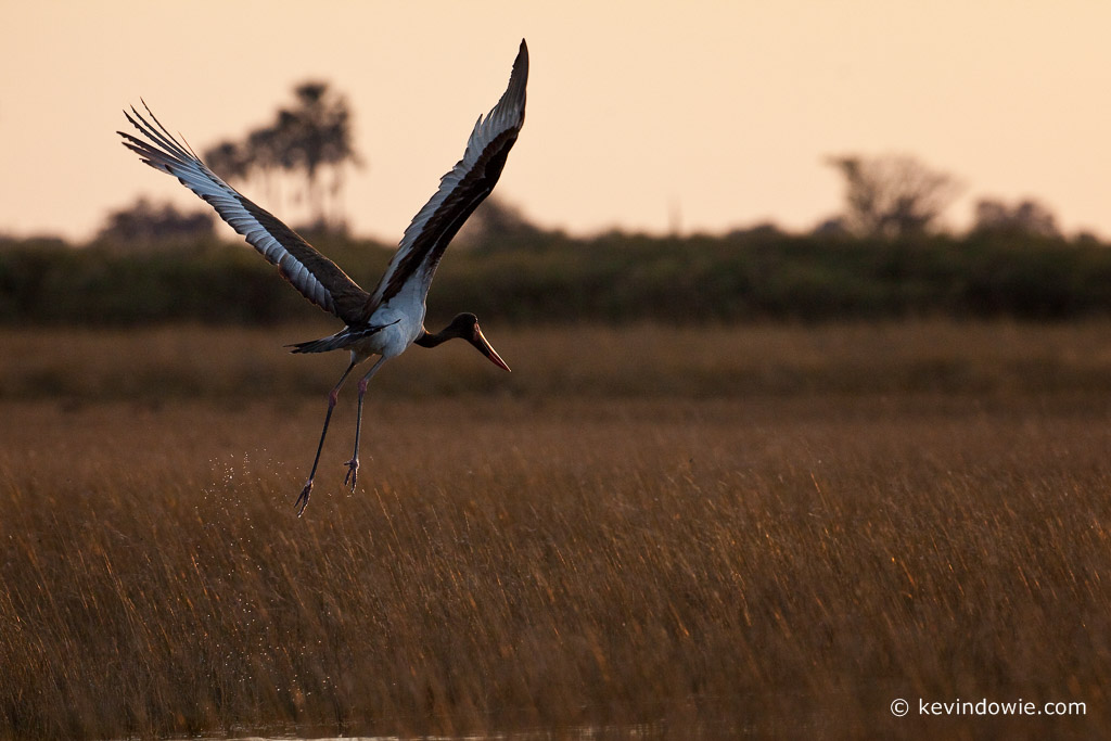 Saddle-billed Stork, taking off, Okavango Delta. (3)