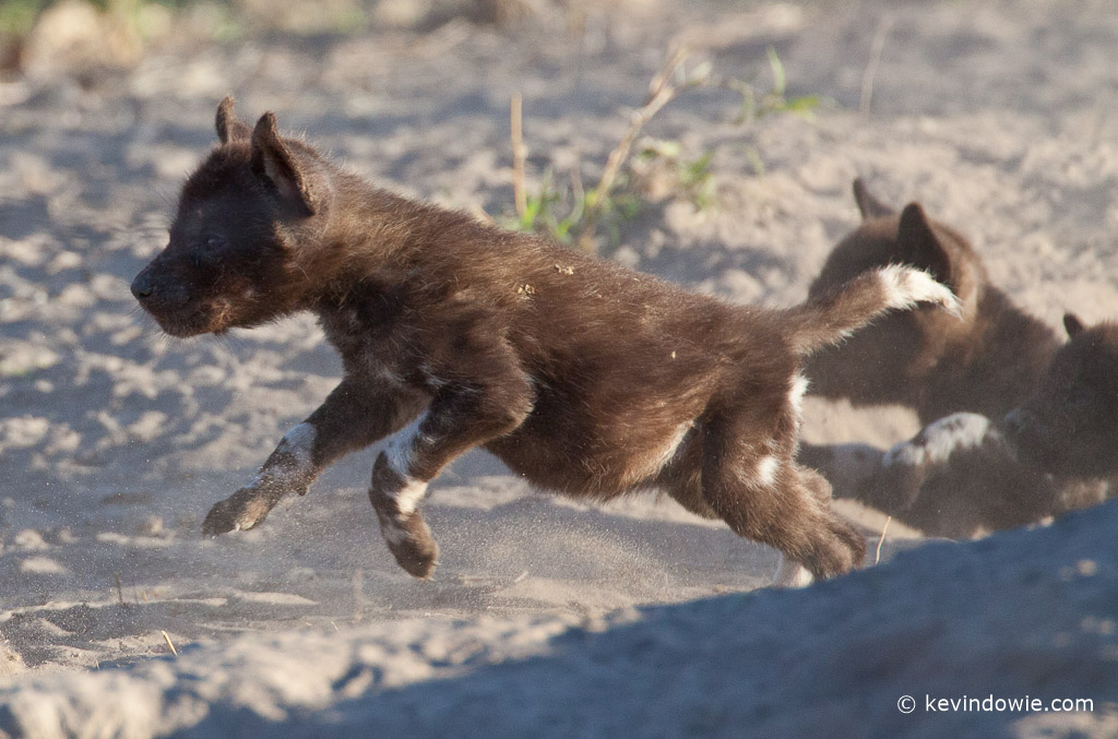 African wild dog pup jumping