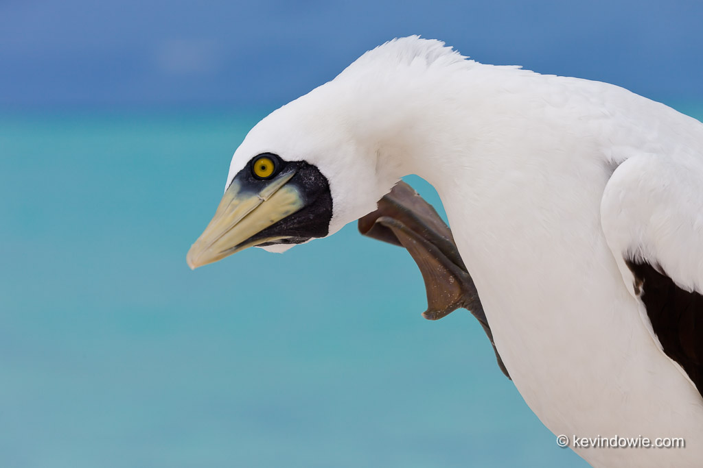 Scratching the itch. Masked Booby, Midway Atoll.
