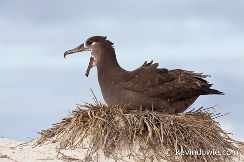 Black Footed Albatross on nest, Midway Atoll. 4th in sequence