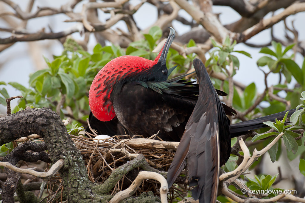 Male Great Frigatebird displaying its throat pouch whilst on nest, Midway Atoll.