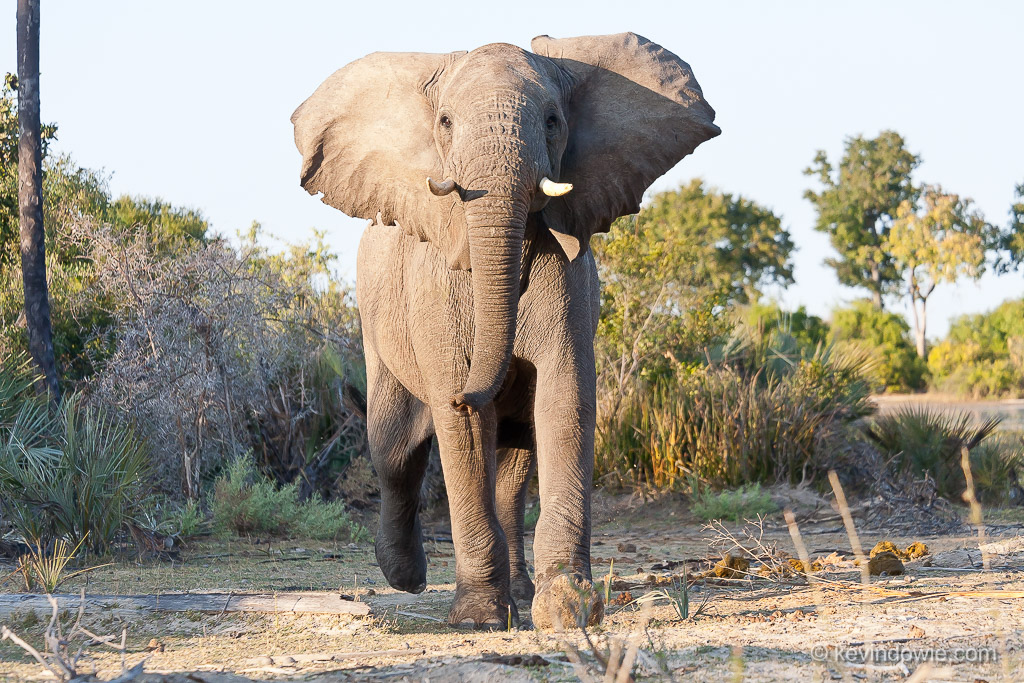 Elephant with ears flared, Okavango Delta, Botswana.