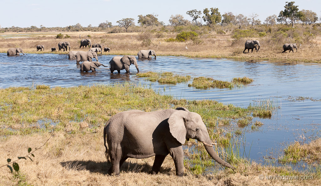 Elephant herd crossing Savuti Channel, Okavango Delta, Botswana.