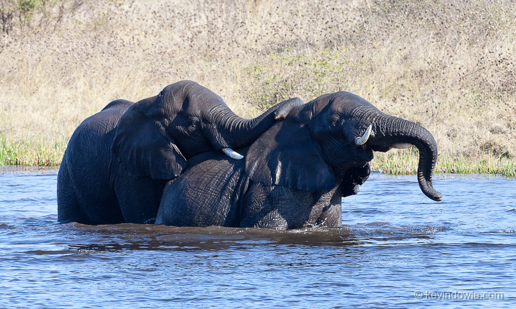 Contest between bull elephants, Savuti Channel, Okavango Delta, Botswana.