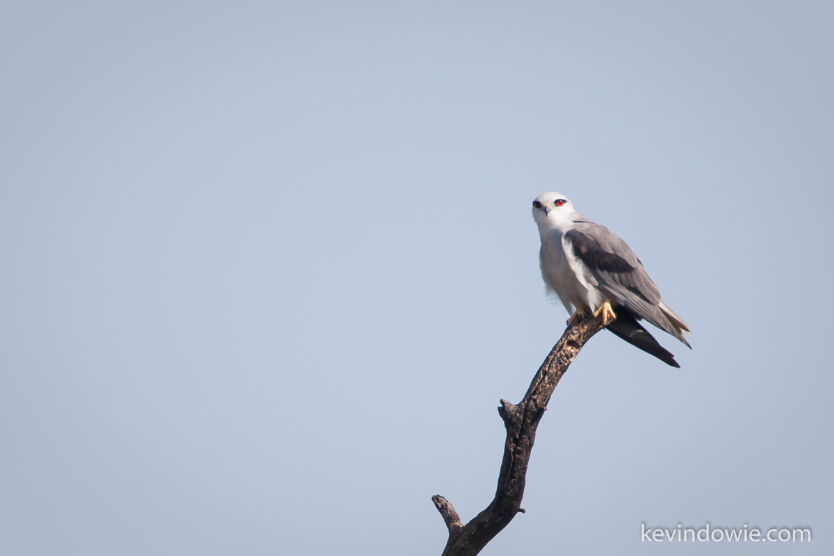 Black shouldered kite on look out. Keoladeo National Park.