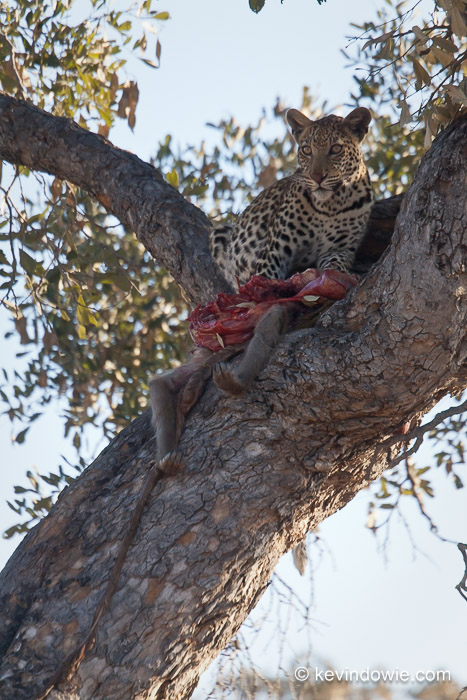 leopard eating baboon