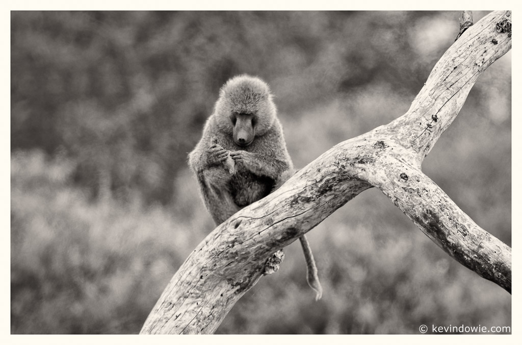 A study in concentration, Baboon.
