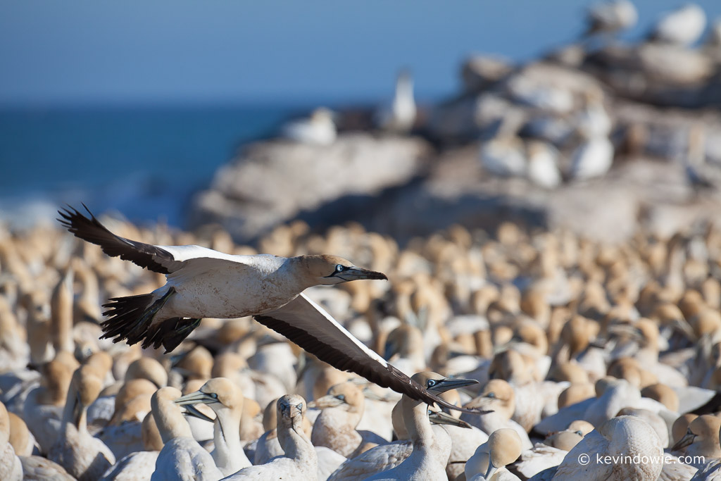 Cape Gannet fly by, Lamberts Bay, South Africa