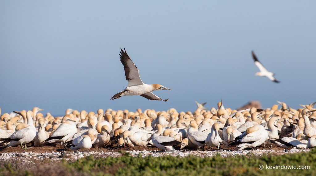 Cape Gannet flying over colony, Lamberts Bay, South Africa