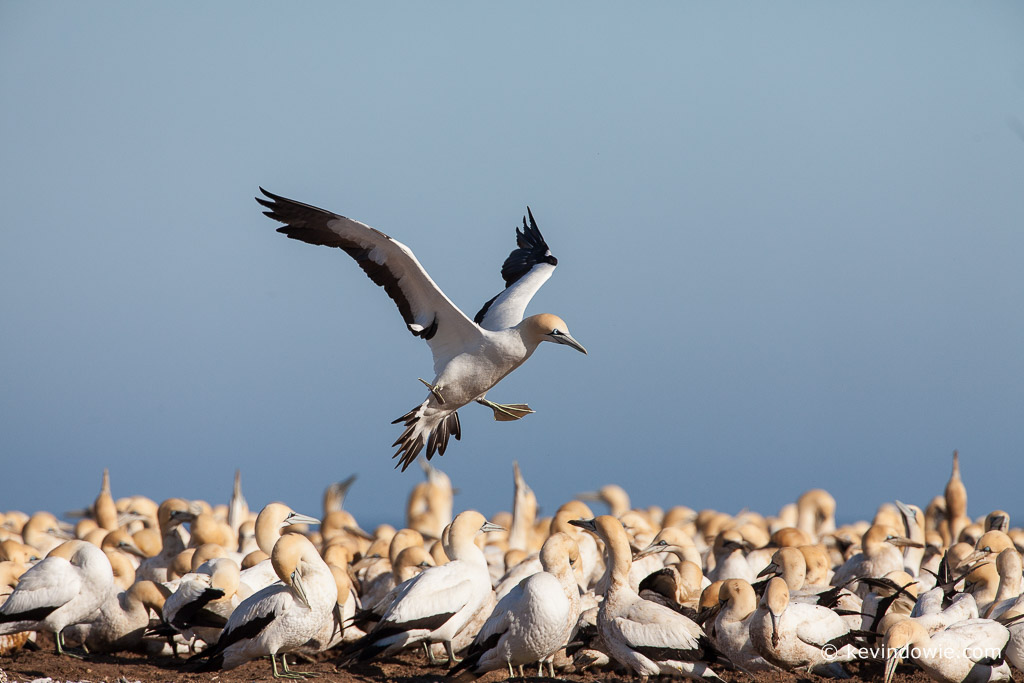 Cape Gannet approaching colony, Lamberts Bay, South Africa