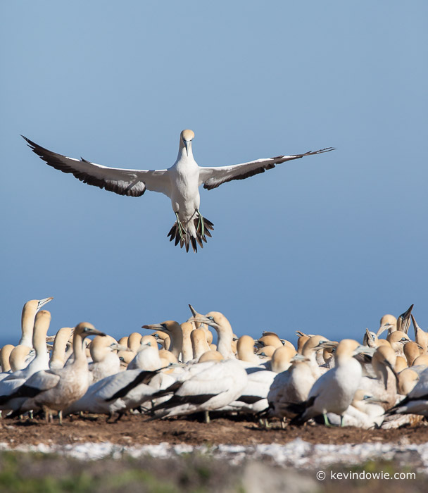 Wings extended, Cape Gannet over colony, Lamberts Bay, South Africa.