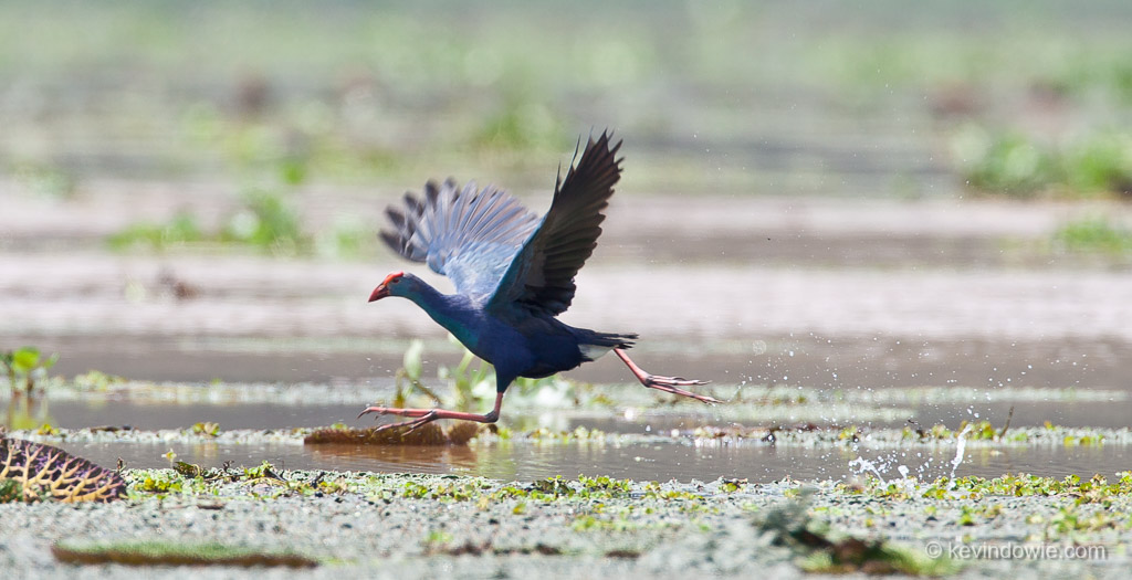 Purple Gallinule running, Assam Provence, India.