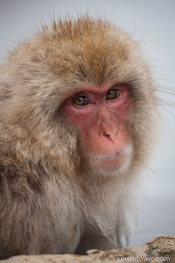 Young snow monkey or Japanese Macaque.