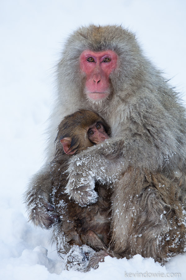 Snow monkeys, mother and infant.