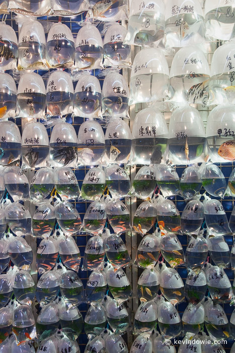 live fish in plastic bags awaiting sale, Mong Kok