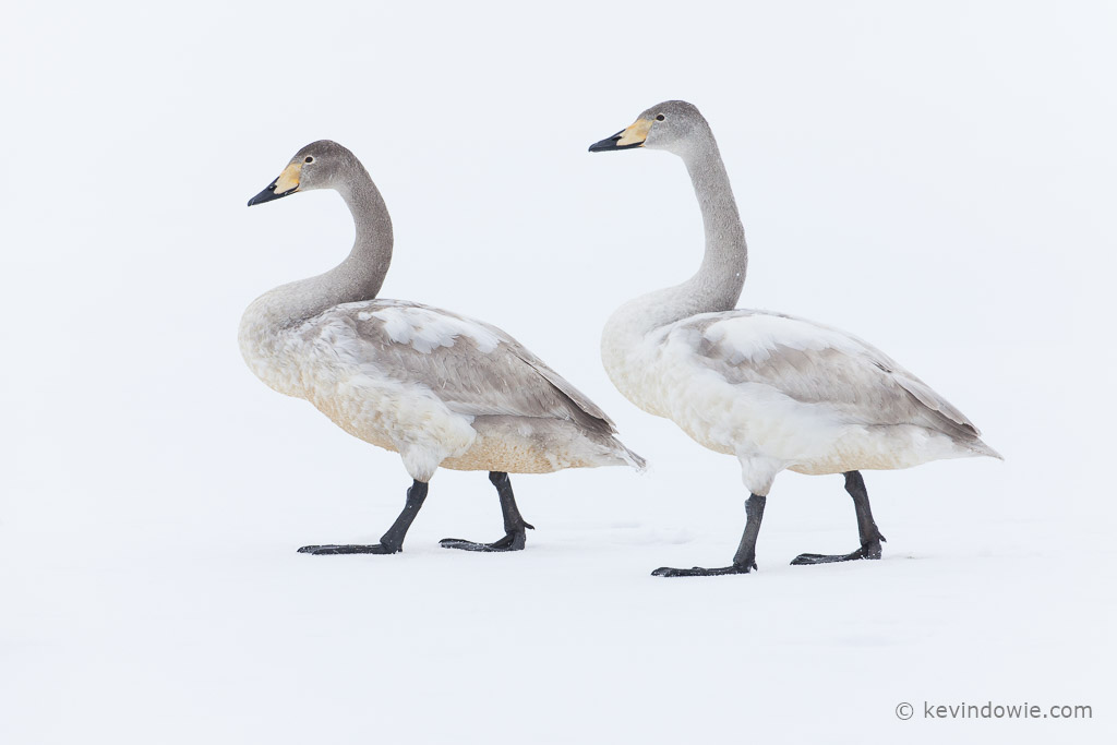 Juvenile Whooper Swans in step