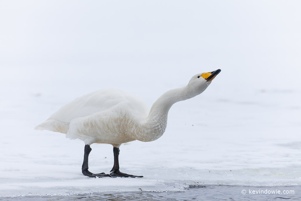 Whooper Swan drinking at ice edge