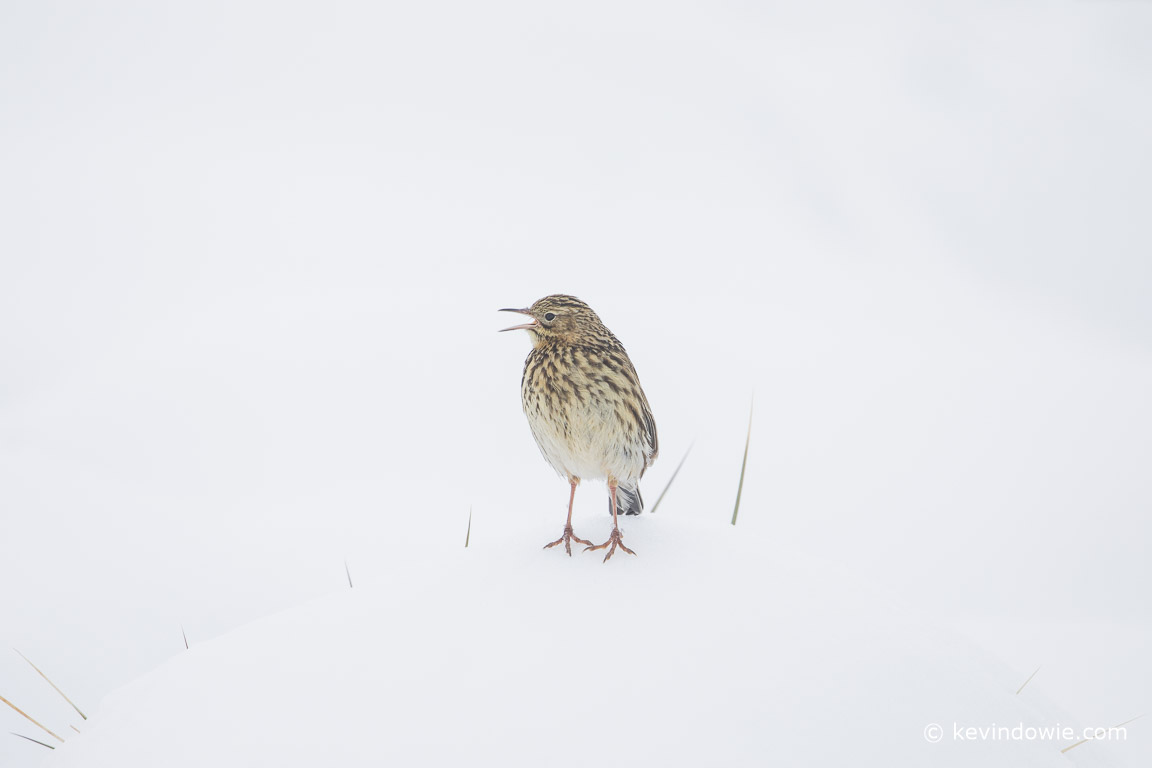 South Georgia Pipit singing whilst perched on snow covered tussock grass