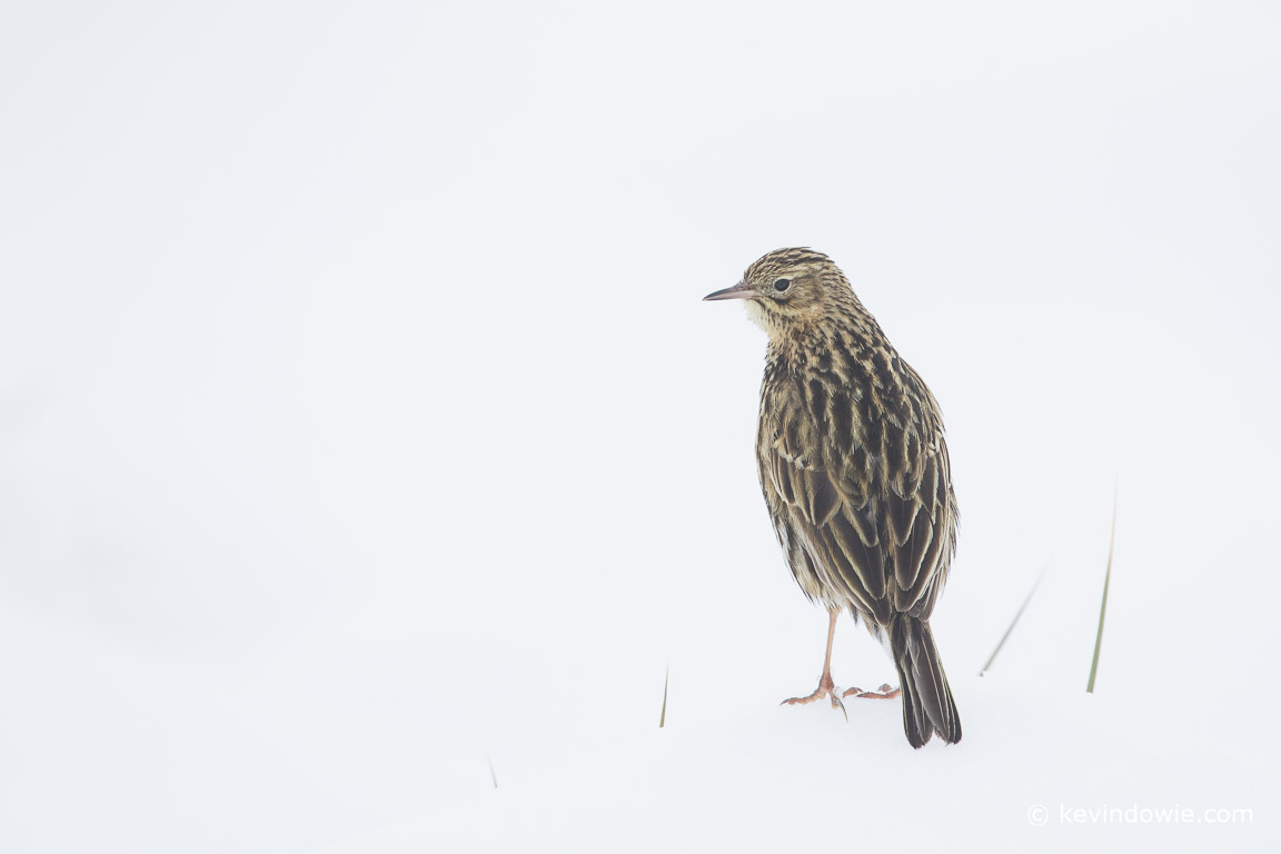 The South Georgia Pipit, the only species of songbird found on the islands.