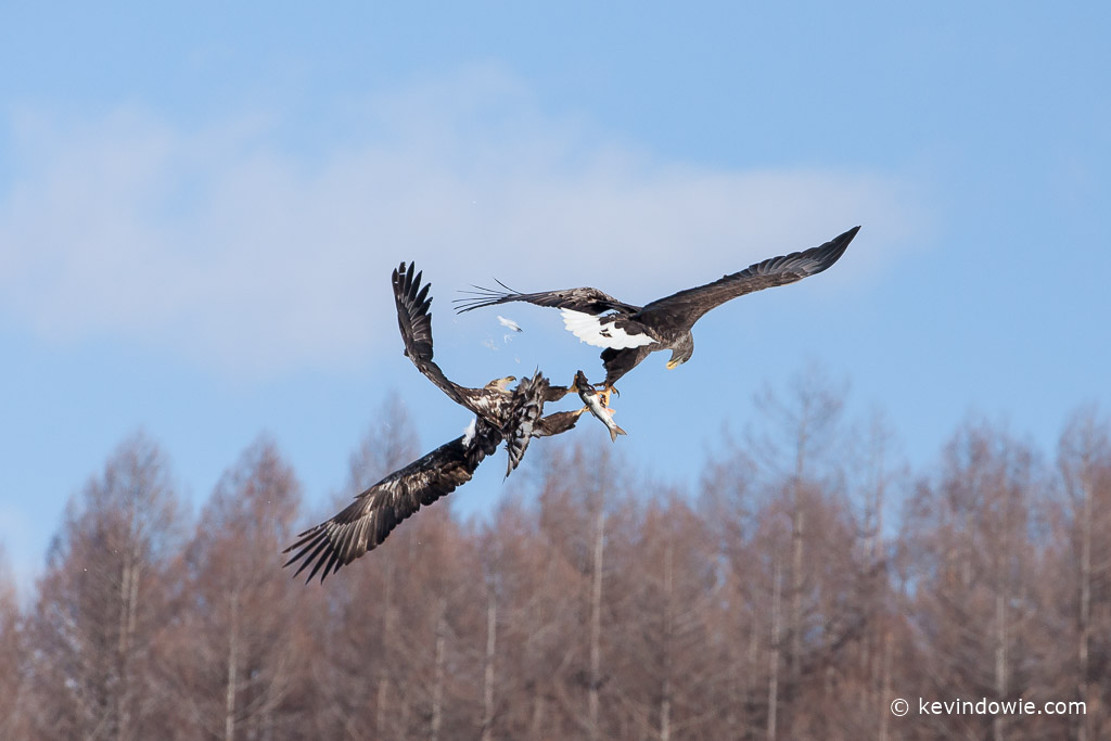White-tailed Eagles fighting over a fish.