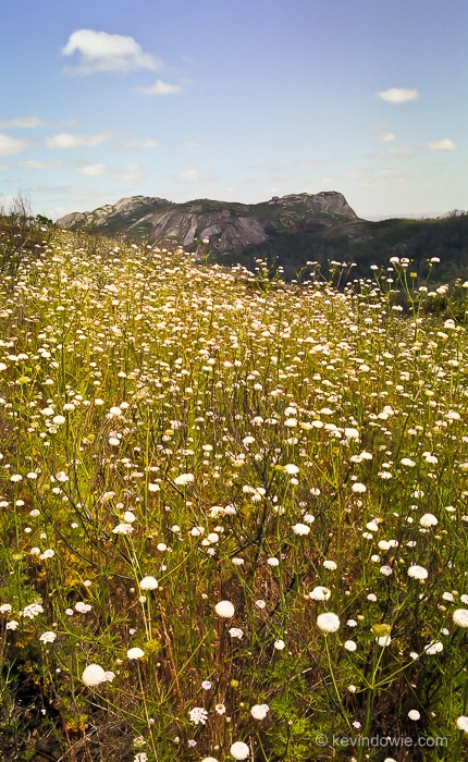 Wildflowers, Porongurup National Park, Western Australia