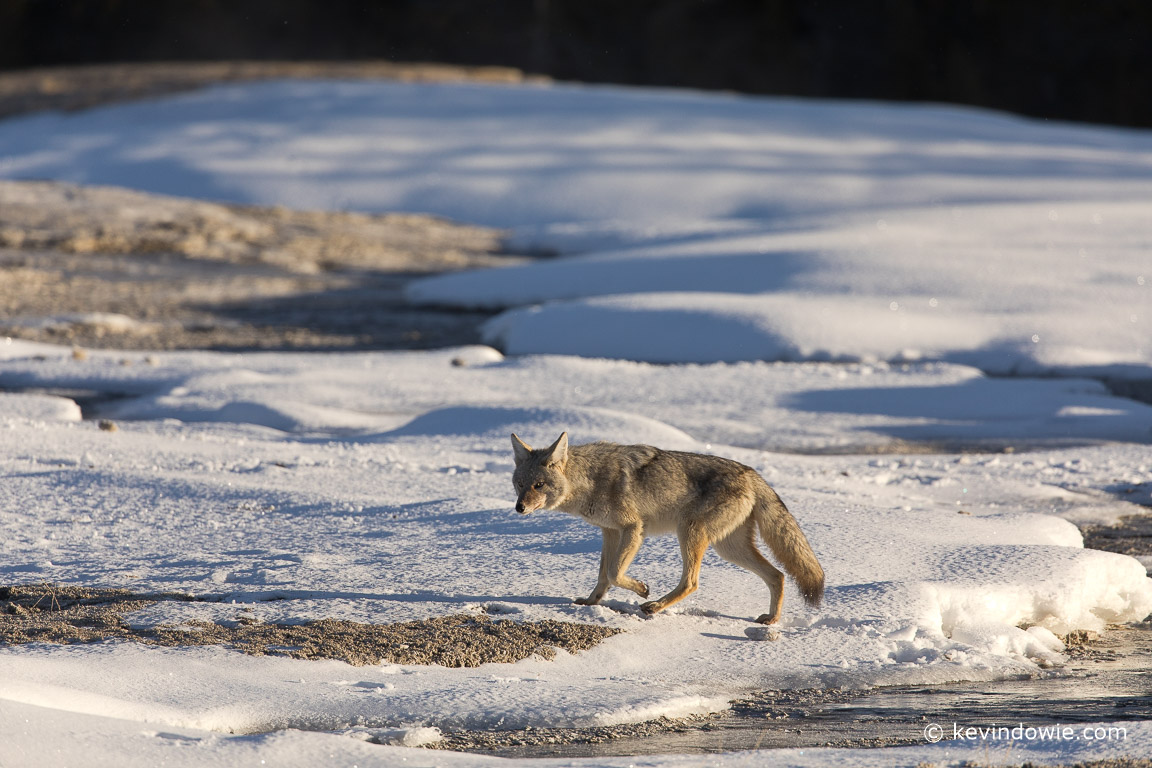 An early morning stroll for one of Old Faithful's resident coyotes.