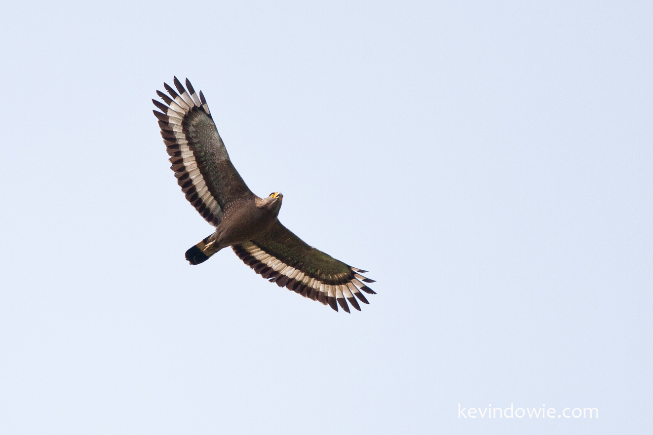 Crested Serpent Eagle, Aranchal Pradesh, India