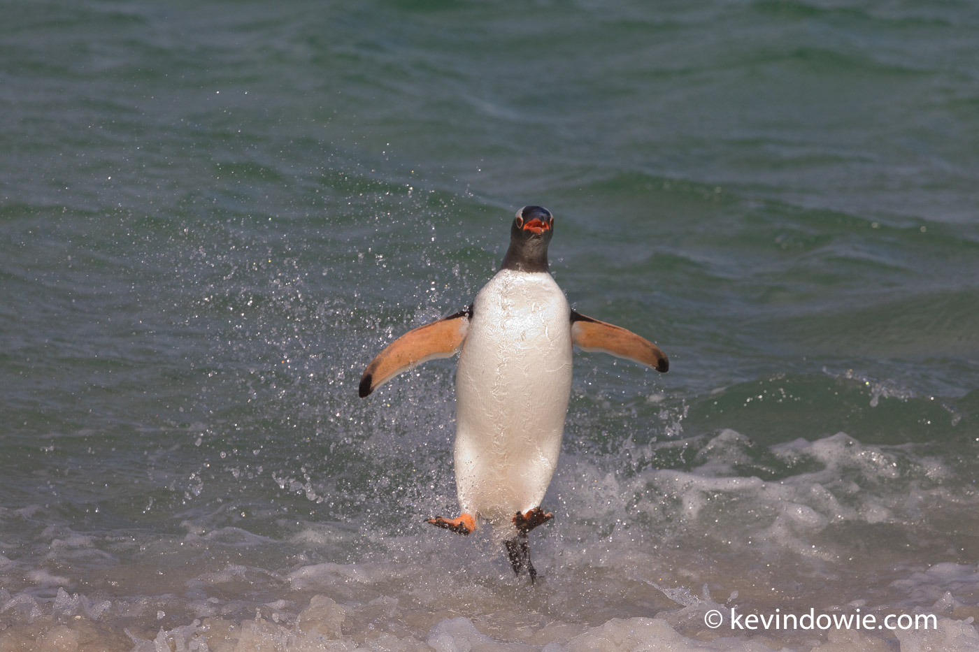 Gentoo Penguin launches itself from the water onto the beach