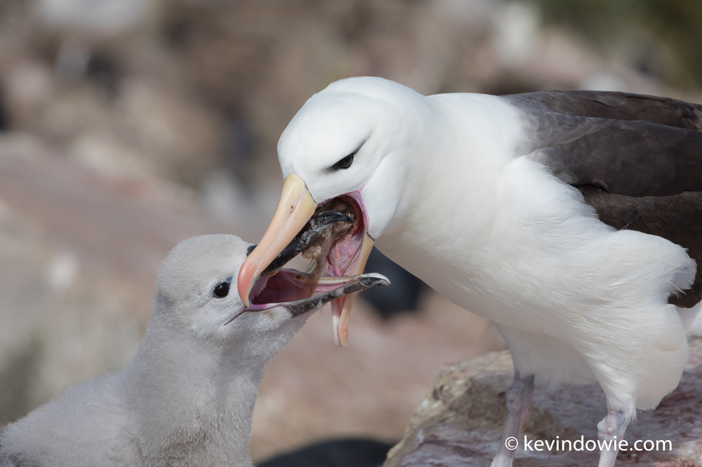 Feeding can be a messy business with the chick demanding food and the adult straining to regurgitate it.
