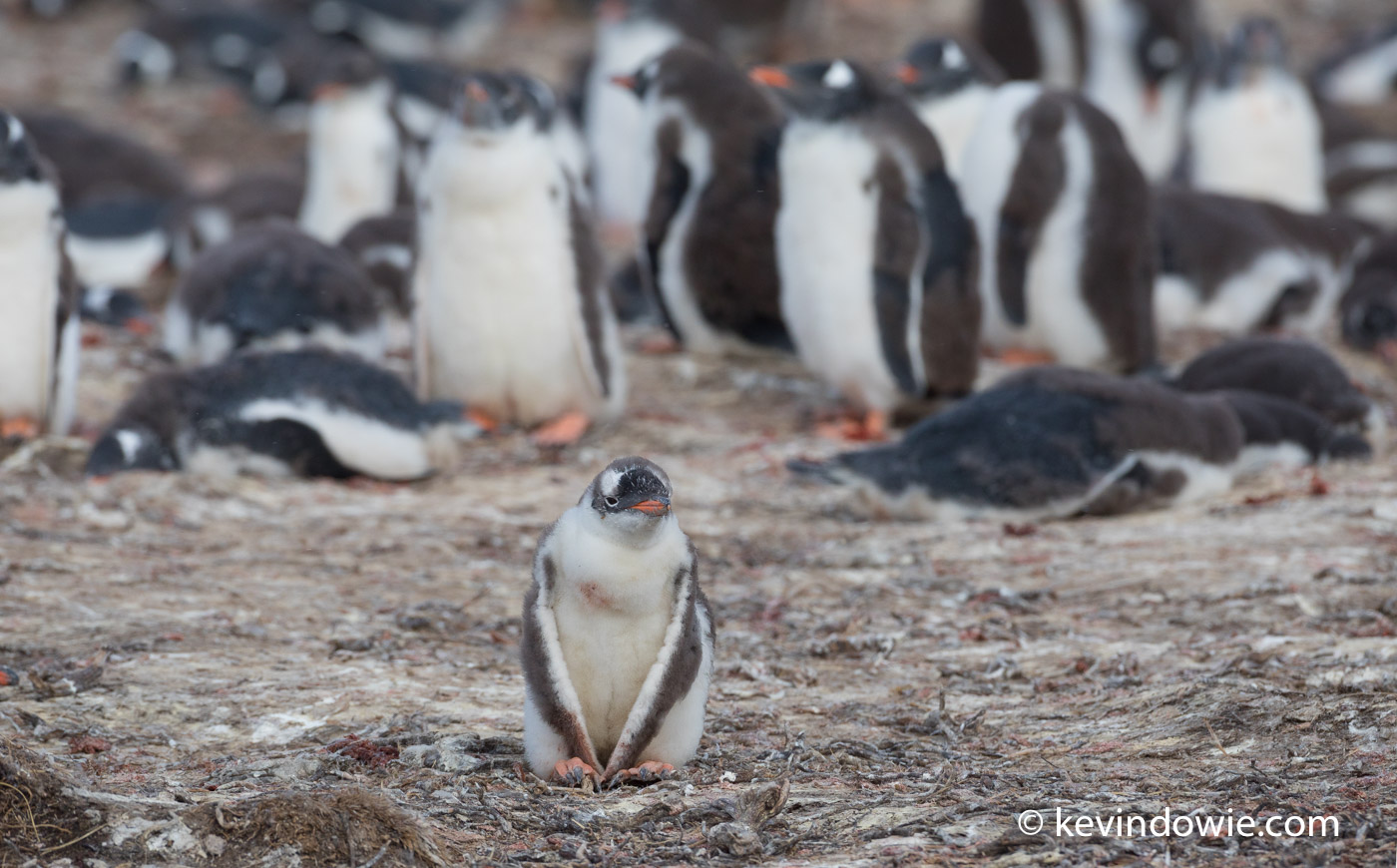 A Gentoo Penguin chick sits at the edge of a colony. Although a portrait of a single bird, the colony in the background completes the story.