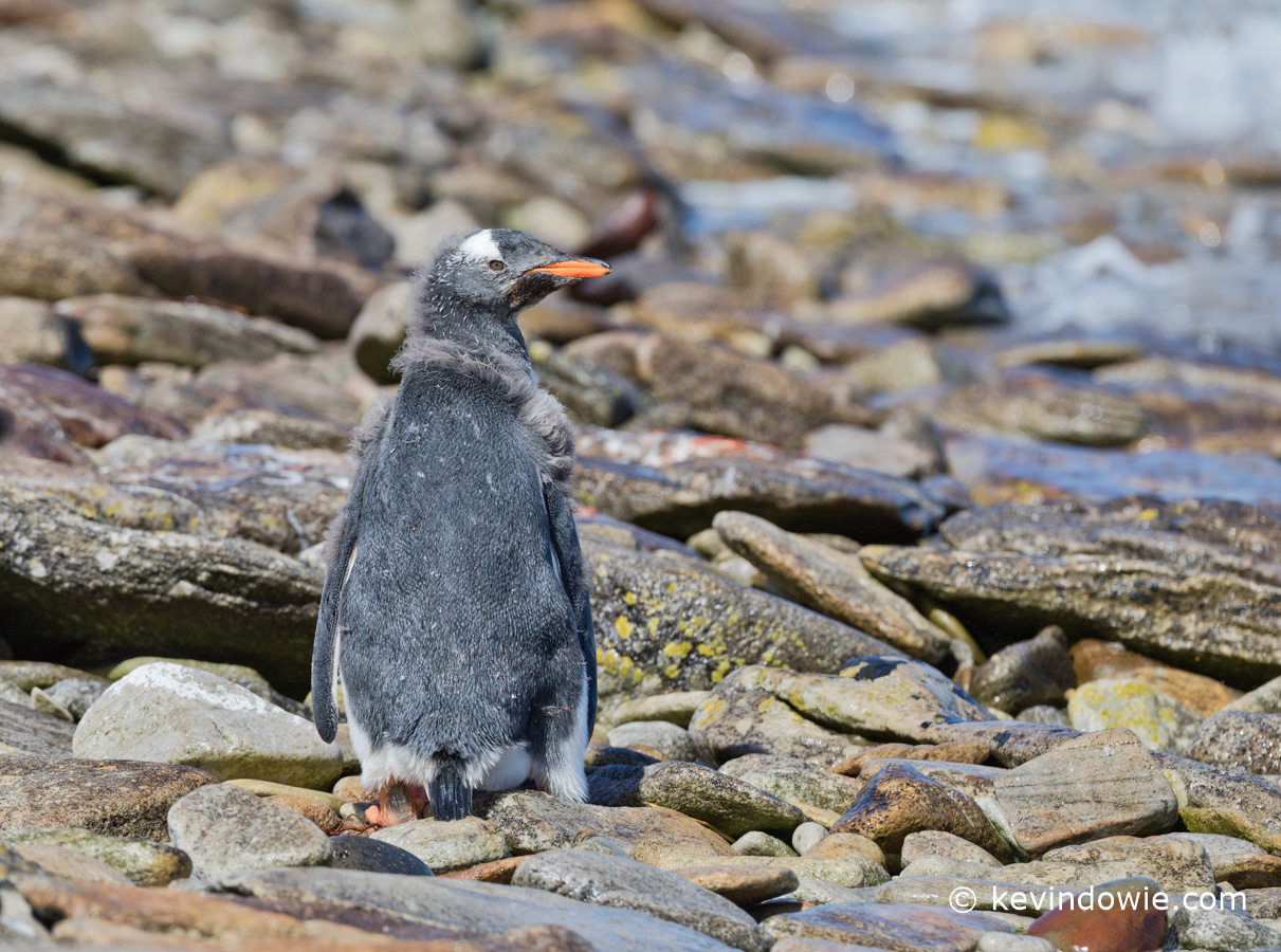 Moulting chick on beach.