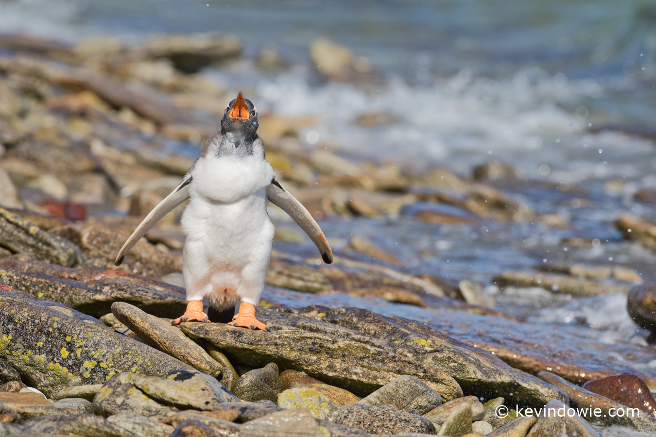 Gentoo chick calling for its parent, Weddell Island.
