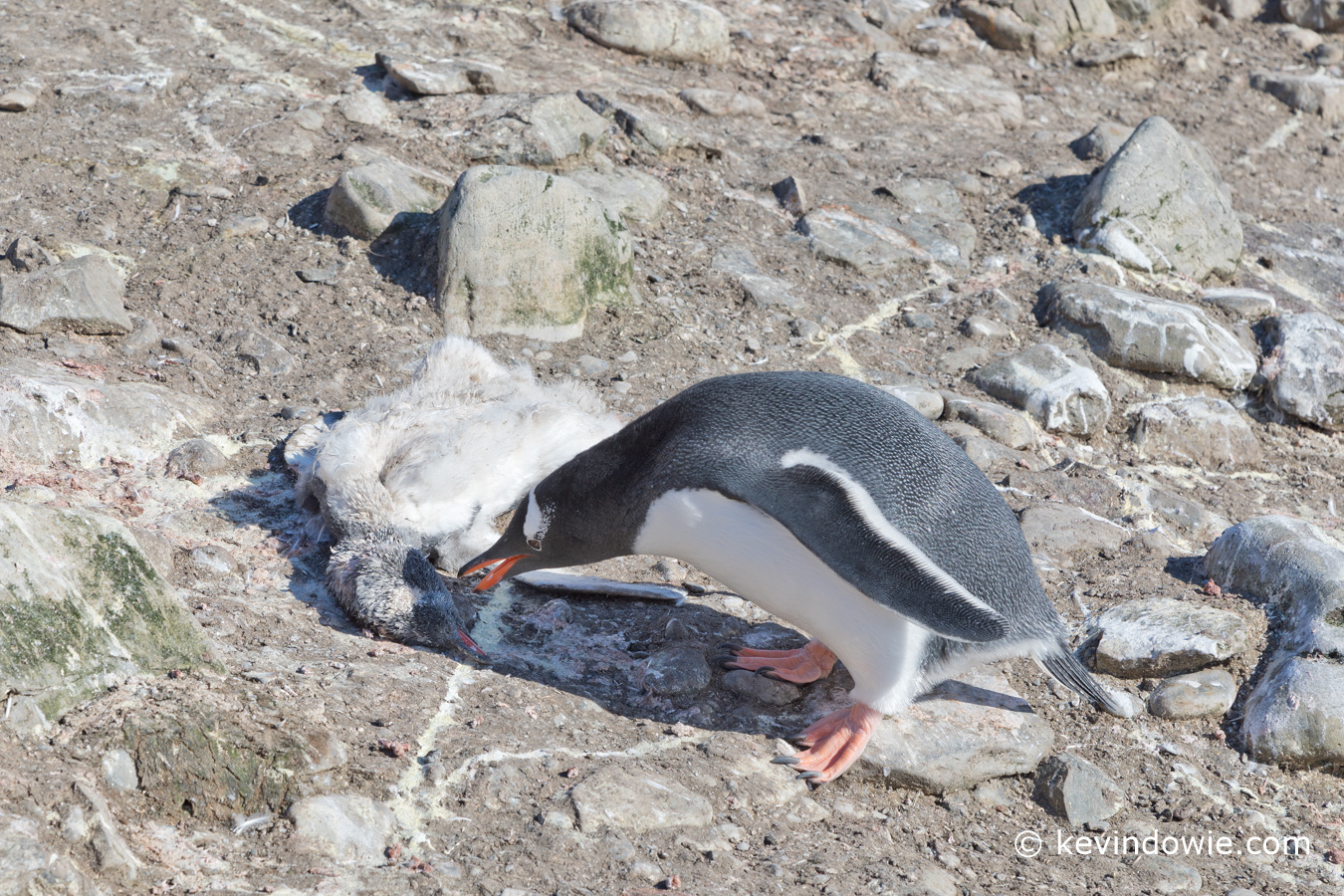 An adult Gentoo Penguin pauses to check the remains of a dead chick. Deception Island.