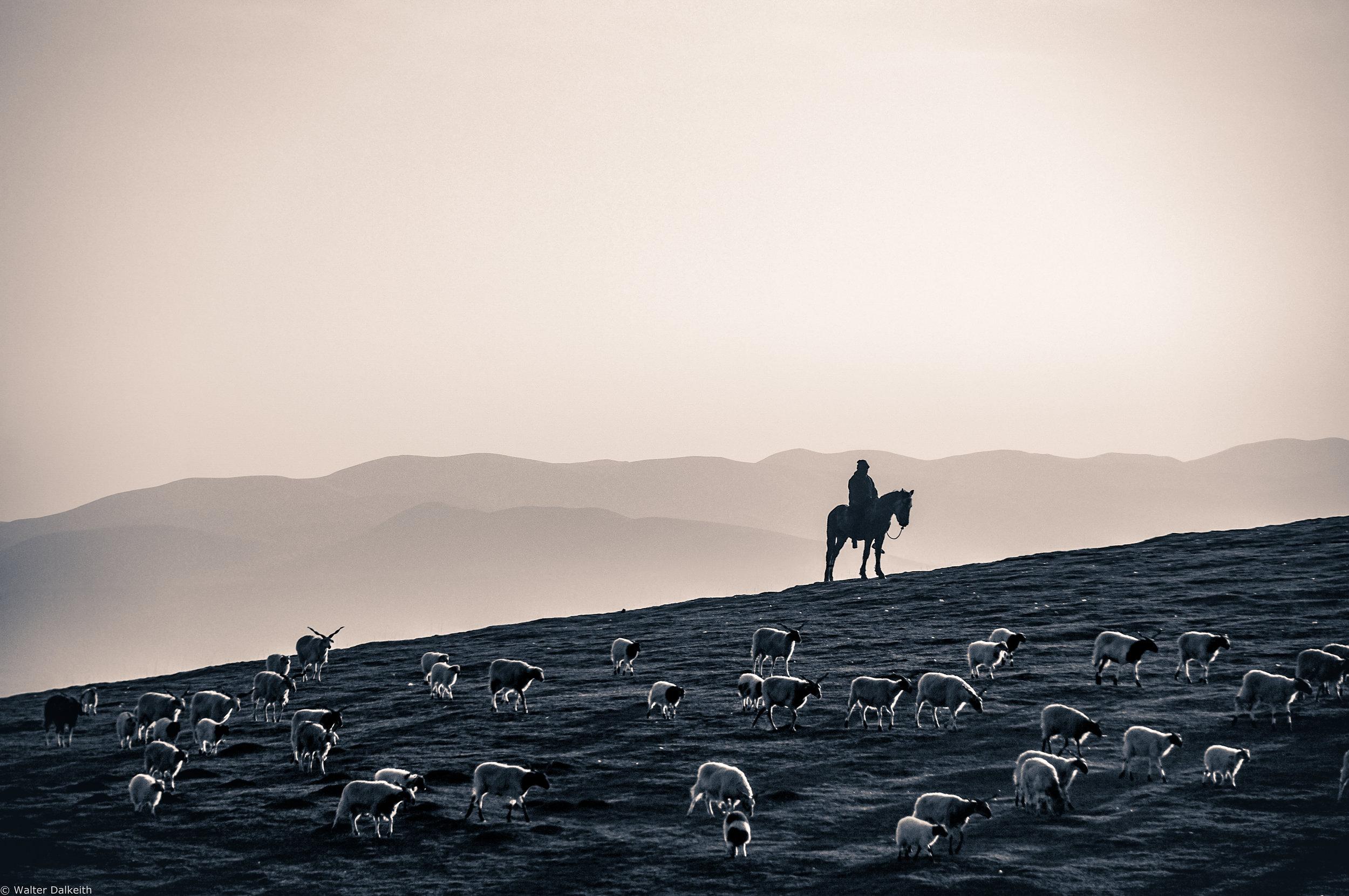 Shepherd - China 2015