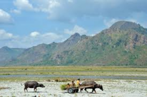 This is a common scene in the Philippines... a rice farmer with his carabao pulling a cart as he harvests his crop.