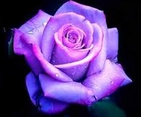 Purple Rose.jpeg