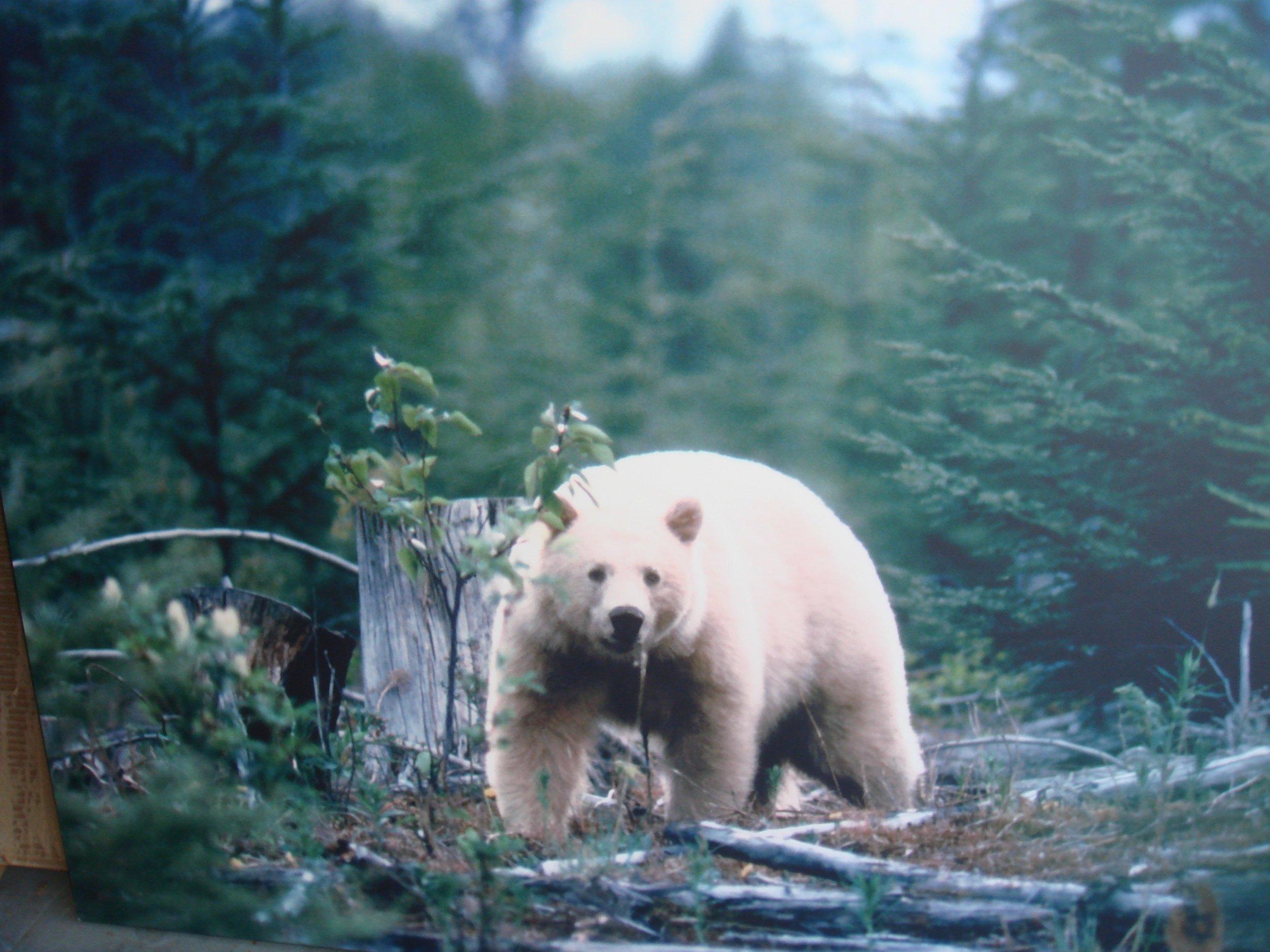 Spirit Bear -- Dr Reese Halter.jpg