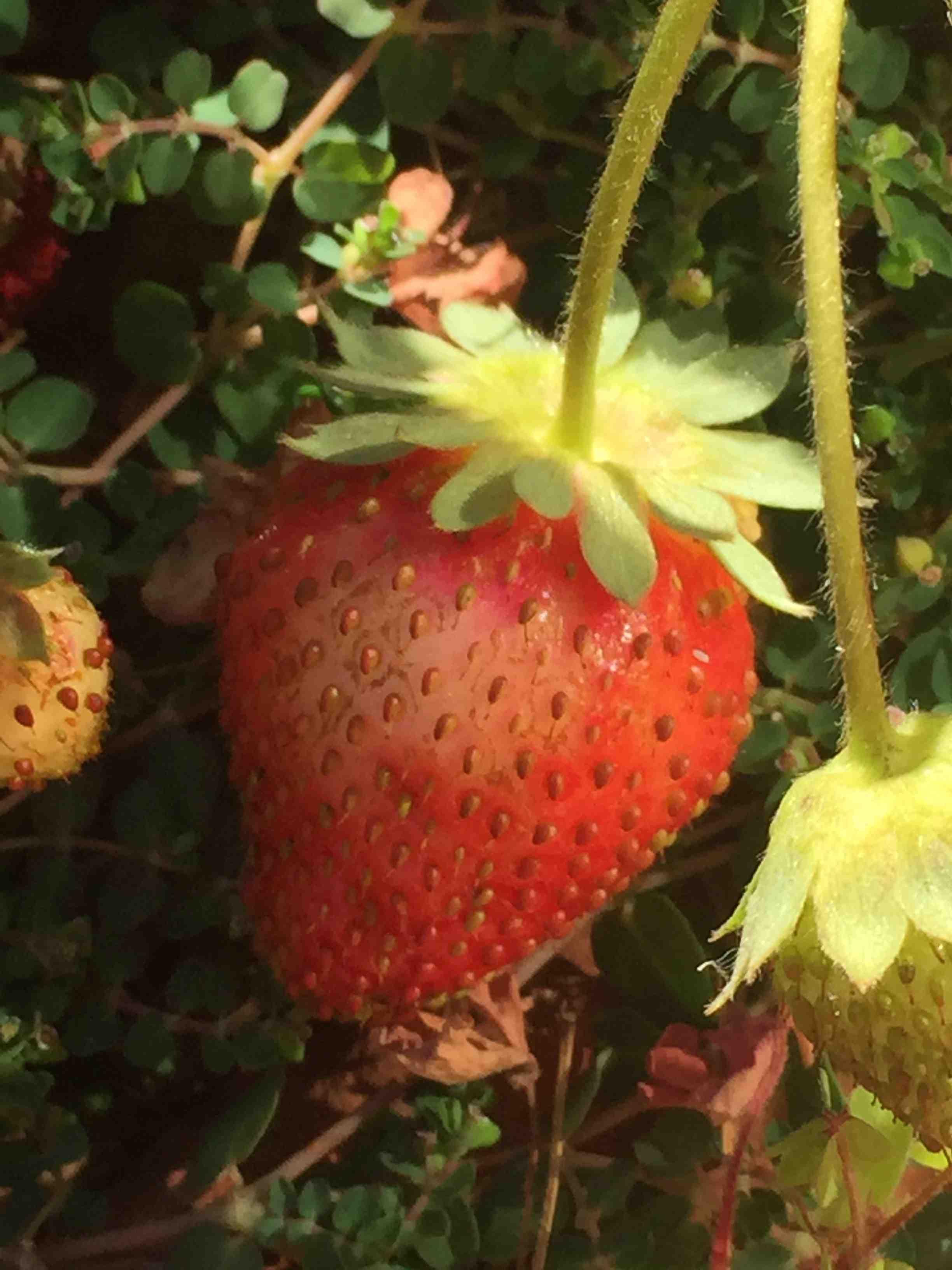 Strawberries - Reese Halter.jpg
