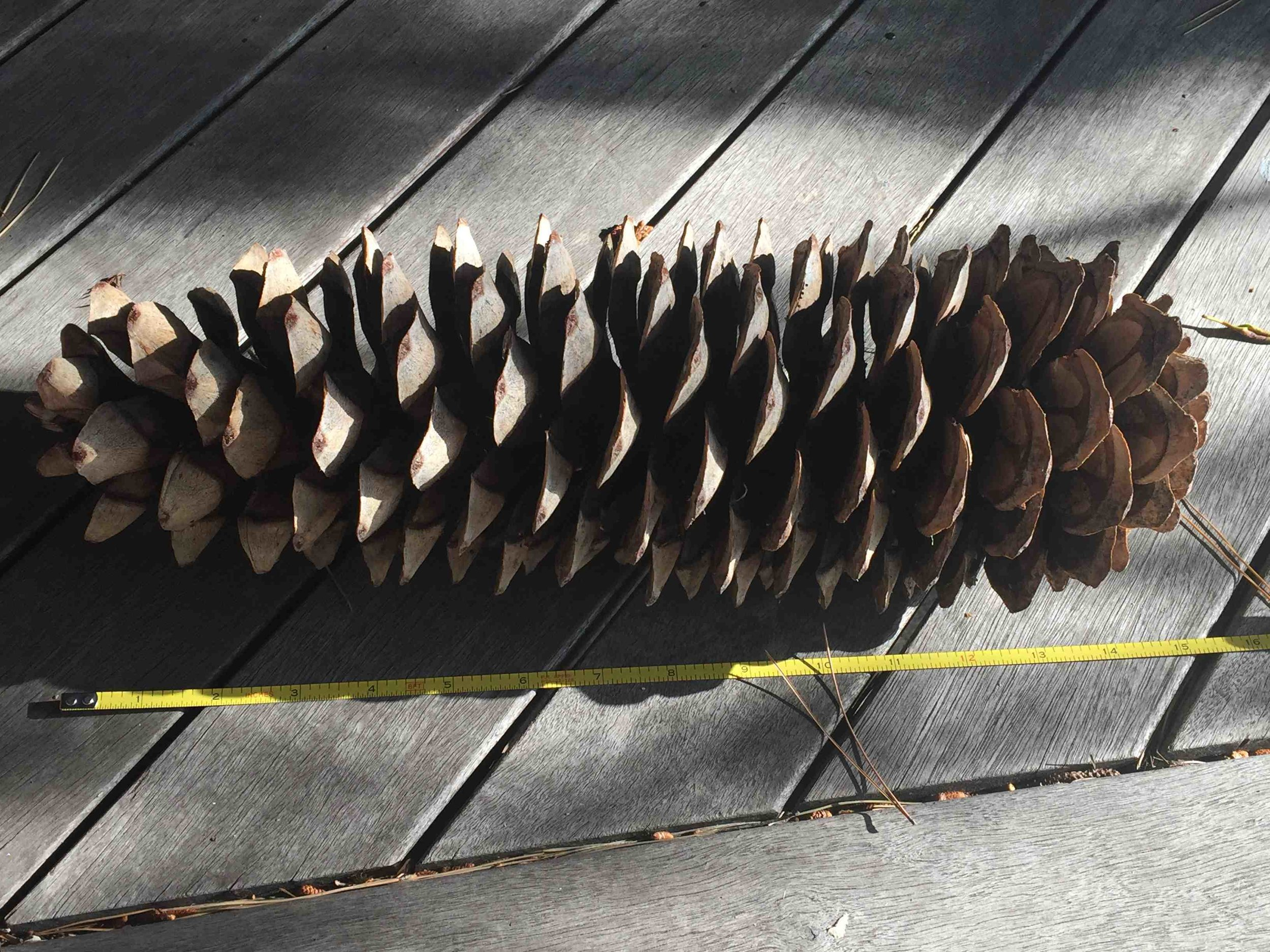 It takes two years and much nitrogen to grow these gigantic sugar pine cones, the longest of all pines. Its large seeds are a prized food source for many ground dwelling mammals. Twenty-four-inch long cones are not uncommon!