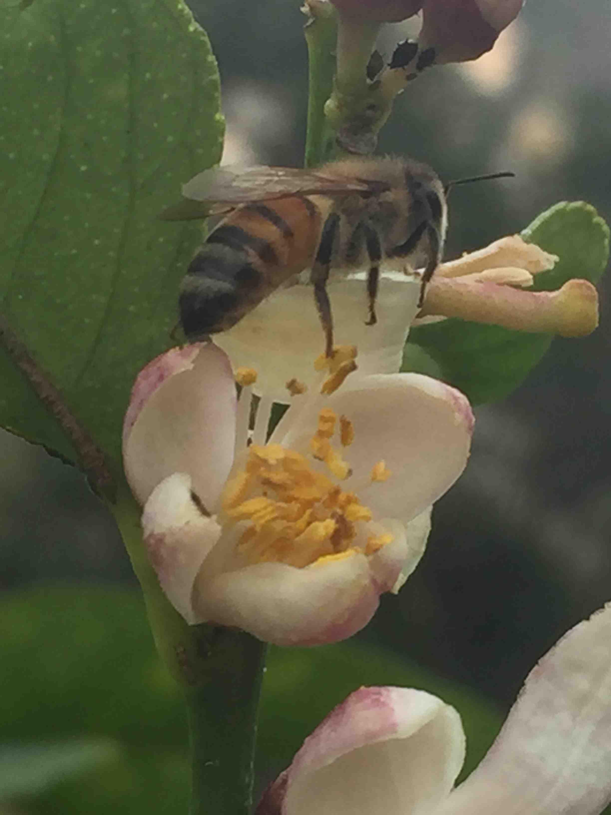 Honeybee napping on lemon blossom petal.