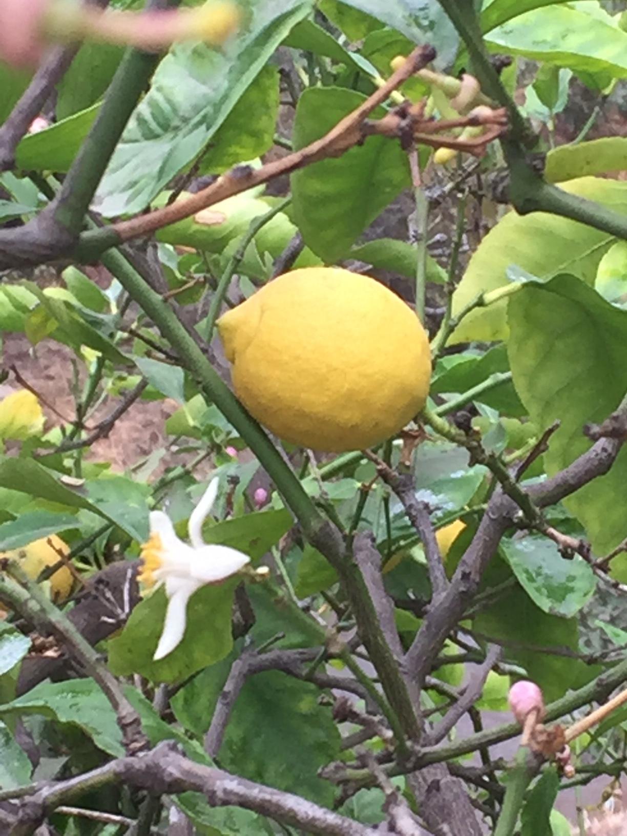 Lemon Tree Hollywood - Reese Halter.jpg