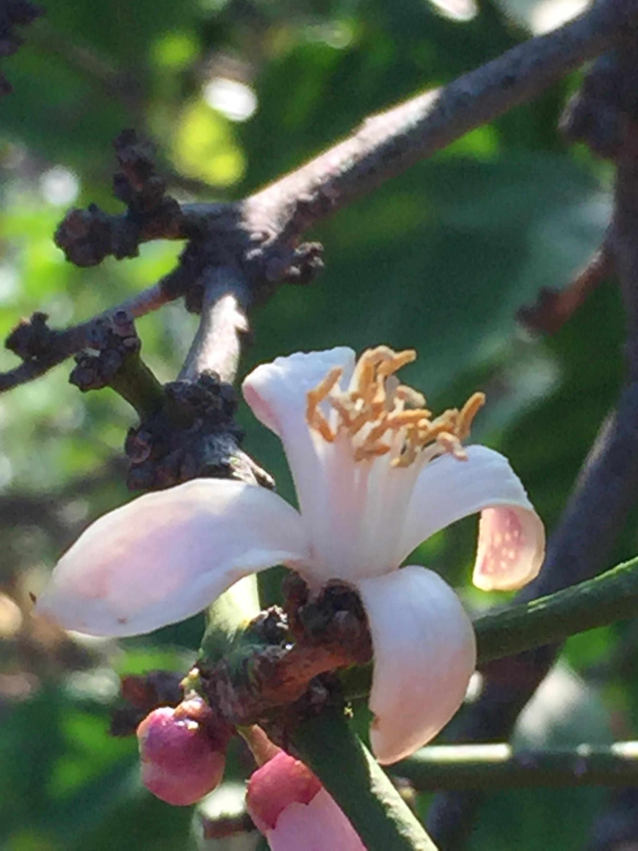 Lemon Blossom - Reese Halter.jpg