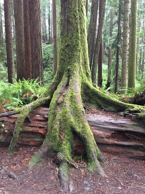 Sitka Spruce - Reese Halter.jpg