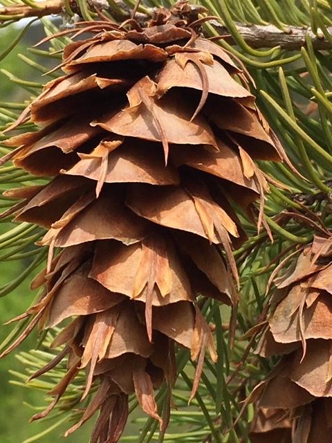 Rocky Mountain Douglas-fir cone - Reese Halter.jpg