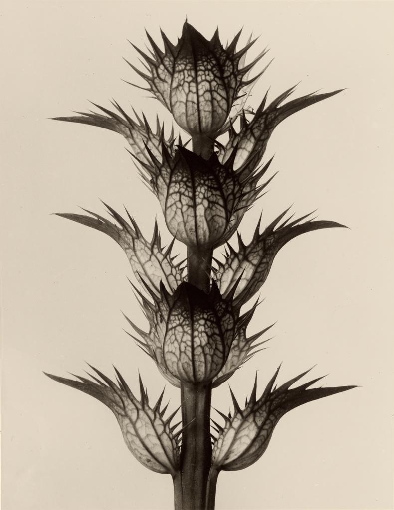 Karl_Blossfeldt._Acanthus_mollis,_1928.jpg