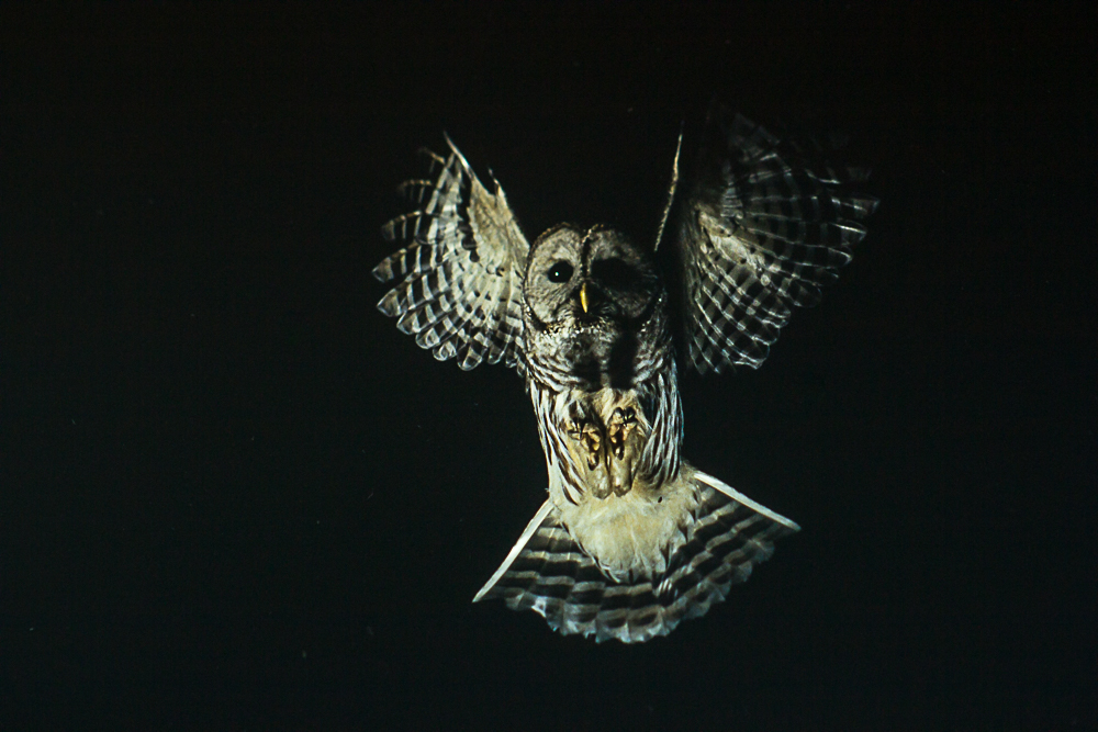 Barred owl in flight.jpg