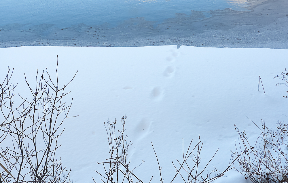 Otter tracks in snow.jpg