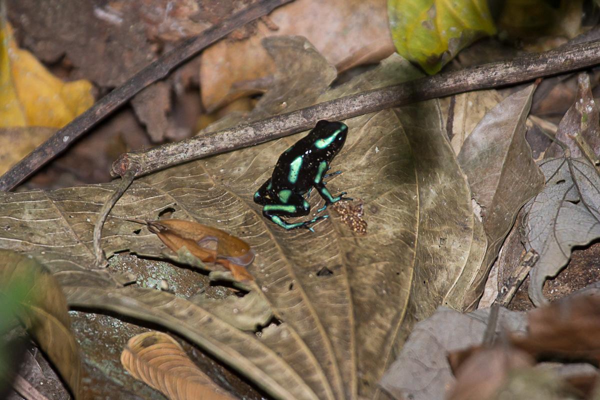 Green poison dart frog.jpg
