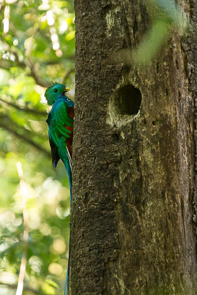 Quetzal male on nest tree.jpg